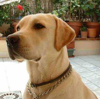 La atención en los perros