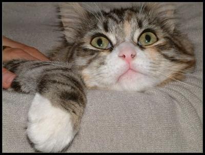 Gatos: el ronroneo